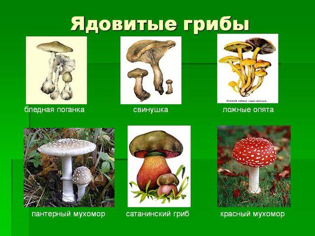 Ядовитые и съедобные грибы в беларуси презентация